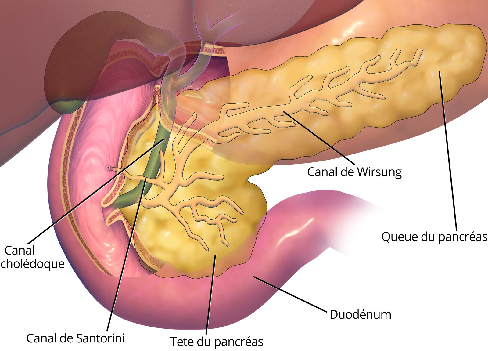ampulla of pancreas - HD1600×1150